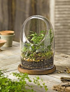 Glass Oval Top Terrarium - TabbleTop Cloche with Wood Base