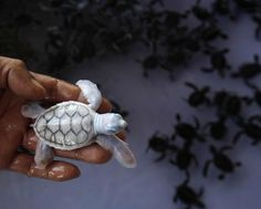 Albino baby sea turtle.