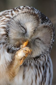 Make up for women's day Ural owl preening its talon feathers. Picture is taken on the women's day.