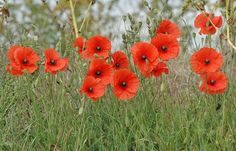 poppies | ... account of the mass flowering of poppies in an obscure journal called