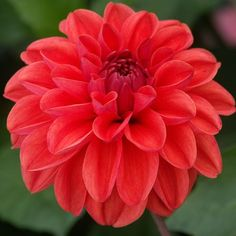 "Dahlia 'Blaze' - The red of the petals appear to be softened with a brushstroke making it a good blender in a flower vase. Blooms measure 6-8"" across."