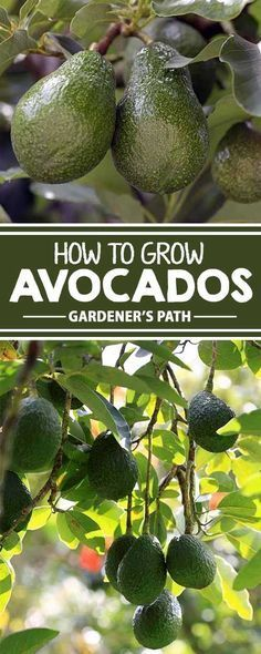 "Thinking of suspending an avocado pit over water in hopes of producing some of the buttery green fruit? Learn whether this is a good idea, and other tips and tricks for growing ""alligator pears"" in your own backyard garden. Fruit Vert, Green Fruit, Fruit Garden, Edible Garden, Garden Loppers, Herbs Garden, Garden Landscaping, Organic Gardening, Gardening Tips"