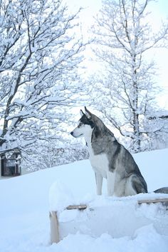 Siberian Husky in the snow.... I want a big thick fur dog ... He could go hiking and skiing with me. ;)