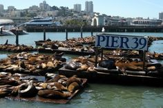 San Francisco Fisherman's Wharf - Sea Lions at Pier 39. These sea lions have been haulign out on Pier 39's K dock since the fall of 1989. Biologists at the Marine Mammal Center believe the lions migrated to the docks from Seal Rock near the Cliff House because there is lots of room, plenty of food, and their natural predators--great white sharks and orcas--do not come into the Bay. www.guestmob.com