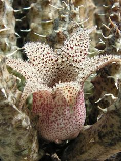 Stapelianthus decaryi with 6 petals