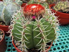 Melocactus mazelianus