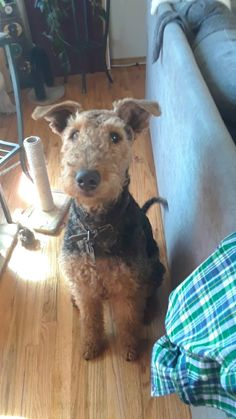 Any love for Airedales? #dogs #cute #aww #puppies #doglovers #puppy #dog