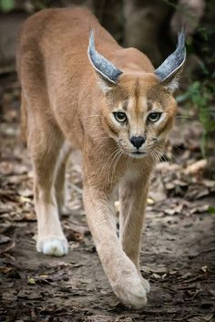Caracal by Scriblerus