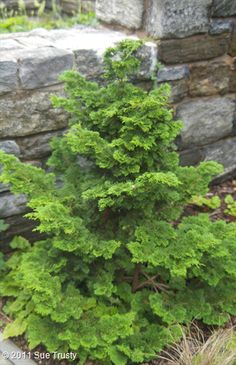 Chamaecyparis obtusa 'Nana', is a slow grower, putting on only per year and reaching Love its fat conical shape in the garden. Eco Garden, Hillside Garden, Bonsai Garden, Garden Trees, Garden Bed, Garden Plants, Landscaping Plants, Front Yard Landscaping, Trees And Shrubs
