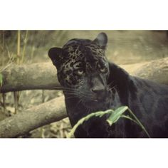 Panther - Facts, Pictures, and Videos ❤ liked on Polyvore