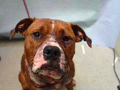 Brooklyn Center RUSTY – A1044333 MALE, BROWN / WHITE, PIT BULL MIX, 1 yr STRAY – ONHOLDHERE, HOLD FOR DOH-NHB Reason STRAY Intake condition EXAM REQ Intake Date 07/16/2015