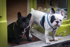 'Betty and Bob', 2 French Bulldogs.