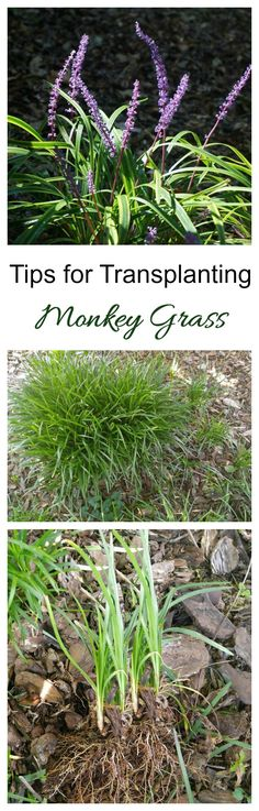 Transplanting Monkey grass is easy. The plant spreads quickly and new plants grow from divisions.