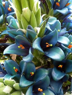 Puya berteroniana. Also know as Turquoise Puya. Annies perennials