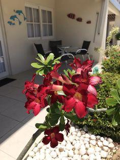 Bonsai, Plants, Desert Flowers, Desert Rose, Gardens, Bonsai Trees, Bonsai Plants, Flora, Plant