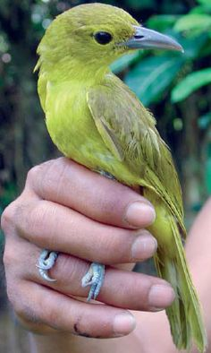 The Isabela Oriole is an endemic species of the Oriole family found on Luzon, the Philippines. The bird that was presumed extinct for many years until it rediscovery in December 1993 near Diffun, Quirino.