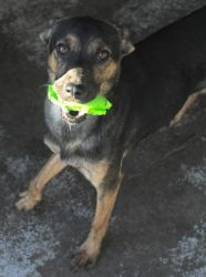 Gema is an adoptable Jindo Dog in San Diego, CA. Our free-spirited, happy, and playful Gema has had quite a history for only being a year and half old: we were scheduled to rescue her from Devore shel...