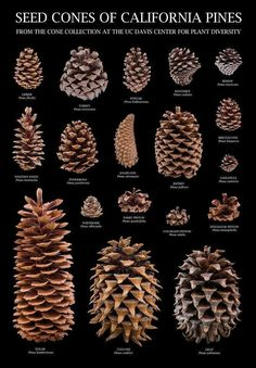 25 DIY Acorn Ideas for Easy & Inexpensive Fall Decor!It's my humble opinion that simple fall decor is the best type of fall decor, and even better if it comes from natural and organic elements-- like the 25 DIY acorn fall decor ideas below.acorn ID (image Giant Pine Cones, Pine Cone Art, Pine Cone Crafts, Pine Cone Wreath, Pinecone Crafts Kids, Felt Crafts, Paper Crafts, Sugar Pine Cones, Tree Identification