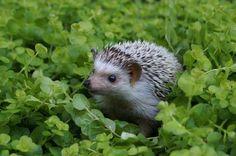 hedgehog. aka John Watson. XD