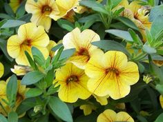 Million Bells Mounding 'Tropical Delight'    'Tropical Delight' is loaded with pineapple-yellow flowers.