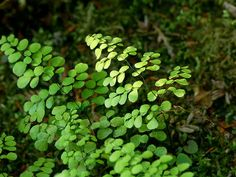 Adiantum venustum. varen. bodembedekker. schaduw. wintergroen Japanese Garden Plants, Herb Garden, Organic Gardening, Gardening Tips, London Garden, Night Garden, Outdoor Landscaping, Outdoor Areas, Winter Garden