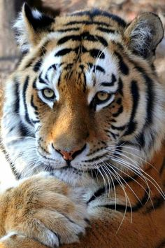 contemplative tiger