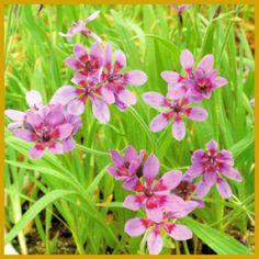 #Babiane, eine sehr schöne und seltene #Knollenpflanze.  In unseren Breiten kann die Babiane nur im Haus gehalten werden, sie ist extrem frostempfindlich und geht schon bei wenigen Kältegraden umgehend ein.  http://www.gartenschlumpf.de/babiane/