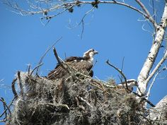 osprey Great Florida Birding Trail, Pasco County, FL