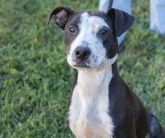 11/16/16-HOUSTON - SUPER URGENT - HIGH KILL FACILITY IS OVER CAPACITY -STELLA LOUISE - ID#A460785 .My name is STELLA LOUISE I am a spayed female, black and white Pit Bull Terrier and Labrador Retriever. The shelter staff think I am about 7 months old. I have been at the shelter since Oct 15, 2016. This information was refreshed 9 minutes ago and may not represent all of the animals at the Harris County Public Health and Environmental Services.