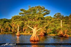 Here's a cypress tree photograph at blue Cypress Lake during a trip to see the sunrise. Single exposure HDR image tone mapped in Photomatix. Indian River County, Treasure Coast, Cypress Trees, Vero Beach, Yahoo Images, Great Places, Image Search, Sunrise, Florida