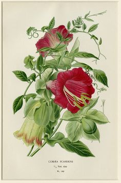1896 Matted Antique Botanical Print Flower by AntiquePrintBoutique