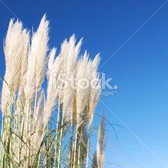'Toitoi' or 'Toetoe' Grass Heads Royalty Free Stock Photo Kiwiana, Annual Plants, Image Now, Grass, Royalty Free Stock Photos, Photography, Beautiful, Photograph, Grasses