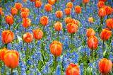 Orage tulips against blue grape hyacinth