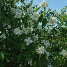 Koop uw Boerenjasmijn haag op www.haagplanten.net!
