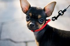 Chihuahuas consistently rank in the Top 10 American dog breeds chosen for pets. They're alert, bold, feisty little dogs with saucy expressions and playful dispositions, and are highly intelligent and athletic. #Dogs #Chihuahua