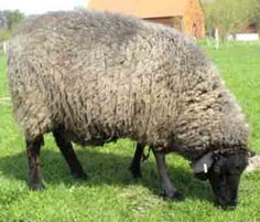 78 Best Sheep images in 2018 | Sheep, Sheep breeds, Goats
