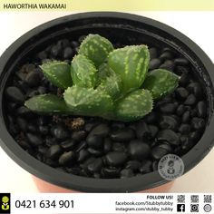 Quality succulents, cacti and houseplants for sale - Adelaide, SA, Australia Succulents For Sale, Houseplants, Cactus, Australia, Canning, Indoor House Plants, Home Canning, House Plants, Interior Plants