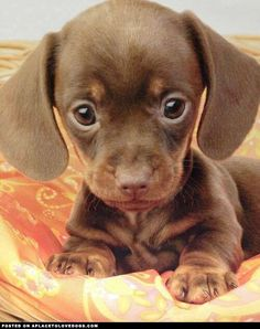 Most Adorable Dachshund