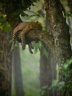 Leppord Asleep on a tree Branch