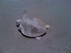 Texas , turtle, 2012