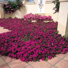 """""""Wave"""" Petunias....THE BEST PETUNIA ever!!!!!!  Trail everywhere, do not need to be deadheaded, and some of mine even come back year to year ( Zone 6!) The purple are the most stunning! Do NOT confuse with normal petunias!!"""