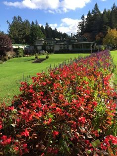 These begonias at Butchart Gardens in Victoria, BC, are one day away from being uprooted so new flowers could be planted for the spring.