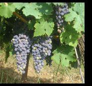 Jugo de uva para la salud del corazón | Mis Remedios Caseros