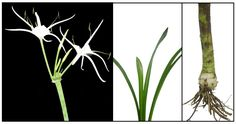 Spider lily, bakong, Hymenocallis littorallis:Philippine Medicinal Herbs / Philippine Alternative Medicine Candida Albicans, Medical Journals, Parts Of A Plant, Medicinal Plants, Alternative Medicine, Botany, Trees To Plant, Plant Hanger, Planting Flowers