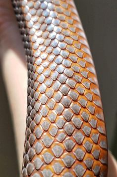 The metallic and blazing orange scales of Fea, the Baird's rat snake : snakes Reptile Scales, Snake Scales, Snake Painting, Snake Drawing, Rat Snake, Snake Art, Pretty Snakes, Beautiful Snakes, Dragon Anatomy