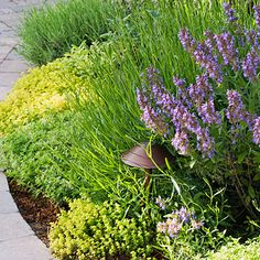 Combine Thyme, Oregano, English Lavender, and Sage for a Gorgeous Herb Border.