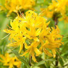 Rhododendron luteum - yellow azalea, sweet pontica azalea