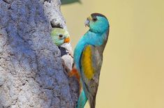 "Parrot on verge of annihilation. A plan to clear about 2000 hectares at Cape York would threaten the ""highly endangered"" golden shouldered parrot, internal government documents show. Photo: Via Bush Heritage Colorful Parrots, Colorful Birds, Feral Pig, Bird Breeds, Australian Birds, Rare Birds, Cockatoo, Horse Pictures, Parakeet"
