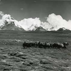 Chomolari yaks grazing in Tibet in 1949. From the #LowellThomas Collection