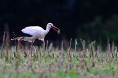 A stork hunts a field mouse on a field in Luthe (Lower Saxony), Germany, 10 August 2014.